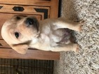 Labrador Retriever Puppy For Sale in BYRON, NE,
