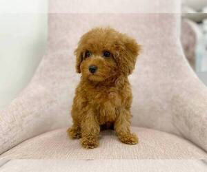 Poodle (Toy) Puppy for sale in FULLERTON, CA, USA