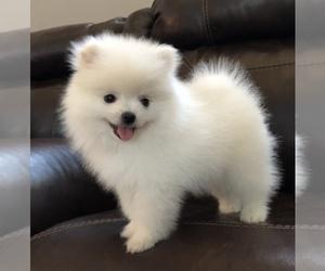 Pomeranian Puppy for sale in MARYSVILLE, WA, USA