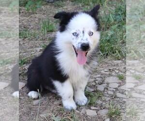 Australian Shepherd Dog for Adoption in MARION CENTER, Pennsylvania USA