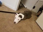 American Pit Bull Terrier Puppy For Sale in COPPERAS COVE, TX,
