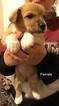 Pembroke Welsh Corgi Puppy For Sale in CONVERSE, TX, USA