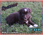 Sparrow Toy or Small Mini Red Tri Female Aussie