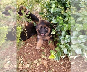 German Shepherd Dog Puppy for sale in SILVERTON, OR, USA