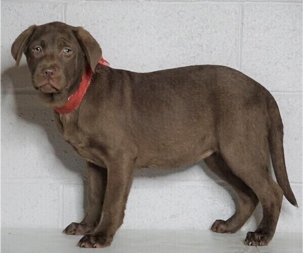 Medium Photo #2 Labrador Retriever Puppy For Sale in FREDERICKSBG, OH, USA