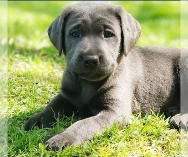 Medium Photo #1 Labrador Retriever Puppy For Sale in SAN JOSE, CA, USA