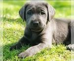Small Photo #1 Labrador Retriever Puppy For Sale in SAN JOSE, CA, USA