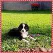 Miniature American Shepherd Puppy For Sale in PHOENIX, AZ, USA
