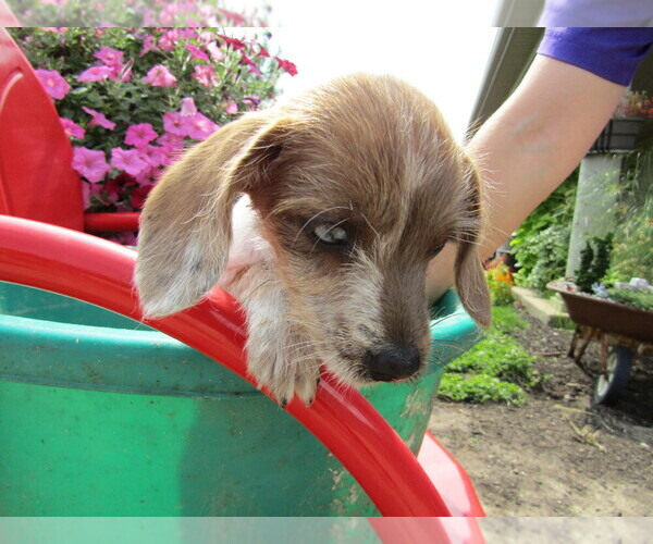 View Ad: Dachshund Litter of Puppies for Sale near Ohio