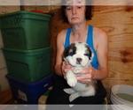 Puppy 11 Saint Bernard