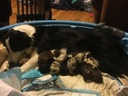 Border Collie Puppy For Sale in CONOVER, North Carolina,