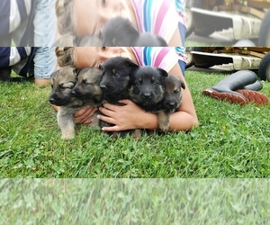 German Shepherd Dog Puppy for sale in LORE CITY, OH, USA
