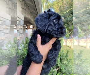 Double Doodle Puppy for Sale in WASCO, California USA