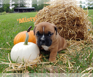 Bulldog-Bulloxer Mix Puppy for Sale in WATERLOO, New York USA