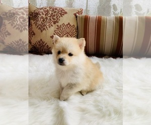 Pomsky Puppy for Sale in GALT, California USA