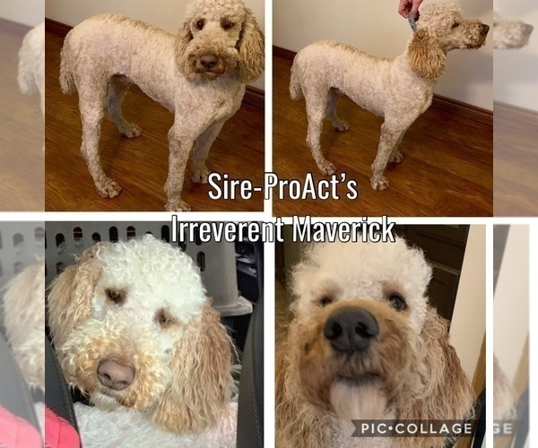 Medium Photo #3 Labradoodle Puppy For Sale in PAW PAW, MI, USA