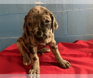 Great Dane Puppy for Sale in DALTON, Indiana USA