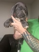 Euro Blue Female Great dane