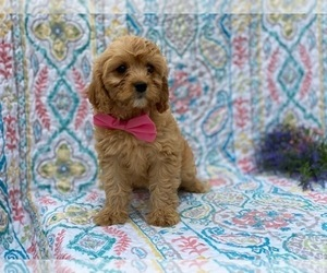 Cavapoo Puppy for sale in LANCASTER, PA, USA