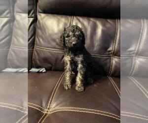 Goldendoodle Puppy for sale in FINLAYSON, MN, USA