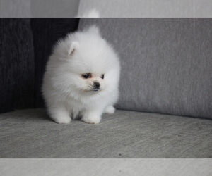 Pomeranian Puppy for sale in DALLAS, TX, USA