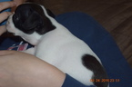 Boston Terrier Puppy For Sale in LUCK, WI