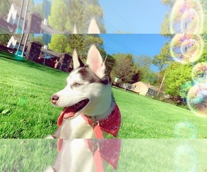 Siberian Husky Puppy for sale in DE WITT, NY, USA