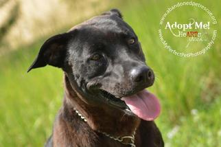 Sourpatch aka Sugar - Labrador Retriever / Terrier / Mixed Dog For Adoption