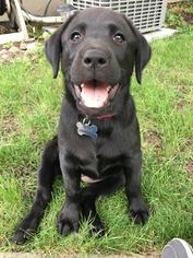 Labrador Retriever Puppy For Sale in BROOKINGS, SD, USA