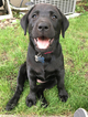 Labrador Retriever Puppy For Sale in BROOKINGS, SD,