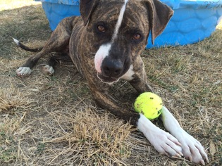 NO FEE - Stitch - American Staffordshire Terrier / Mixed (short coat) Dog For Adoption