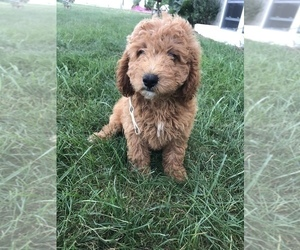 Labradoodle-Poodle (Miniature) Mix Puppy for Sale in BOWLING GREEN, Kentucky USA