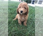 Puppy 2 Labradoodle-Poodle (Miniature) Mix