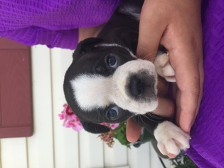 Buggs Puppy For Sale in RURAL RETREAT, VA, USA