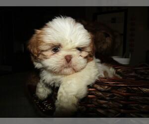 Shih Tzu Dog for Adoption in FORT WAYNE, Indiana USA