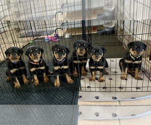 Rottweiler Puppy for sale in PHOENIX, AZ, USA
