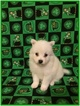 American Eskimo Dog Puppy For Sale in CLARKSVILLE, TN, USA