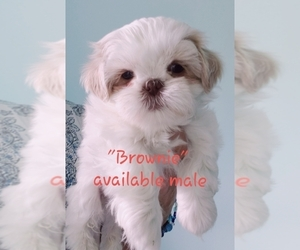 Shih Tzu Puppy for Sale in LOWELL, Michigan USA