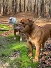 Father of the Olde English Bulldogge puppies born on 01/21/2019