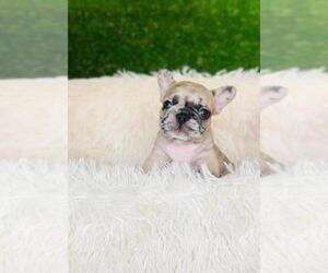 French Bulldog Puppy for Sale in RICHMOND, Texas USA