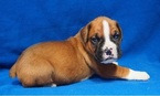 Boxer Dog For Adoption in DOTHAN, AL, USA