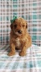 Poodle (Toy) Puppy For Sale in LANCASTER, Pennsylvania,