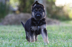German Shepherd Dog Puppy For Sale in DUSON, LA
