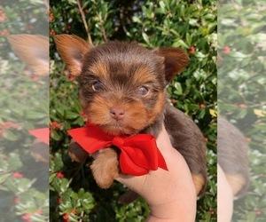 Yorkshire Terrier Dog for Adoption in FRAMINGHAM, Massachusetts USA