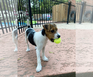 Jack Russell Terrier Puppy for sale in DECKER PR, TX, USA