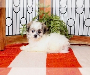 Zuchon Puppy for sale in NAPLES, FL, USA