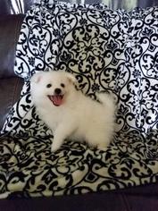 American Eskimo Dog Puppy For Sale in PORT SAINT LUCIE, FL, USA