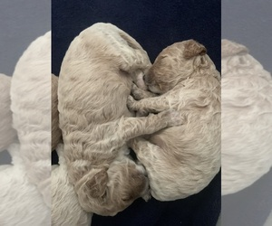 Goldendoodle Puppy for Sale in GAYLORD, Michigan USA