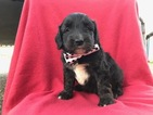 Aussiedoodle Mix Puppy For Sale in COLORA, MD, USA