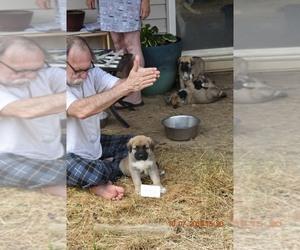 Anatolian Shepherd Puppy for Sale in COEUR D ALENE, Idaho USA